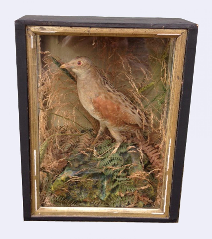 Victorian Taxidermy Corncrake