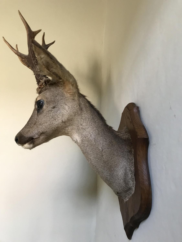 Antique Mounted Deer's Head