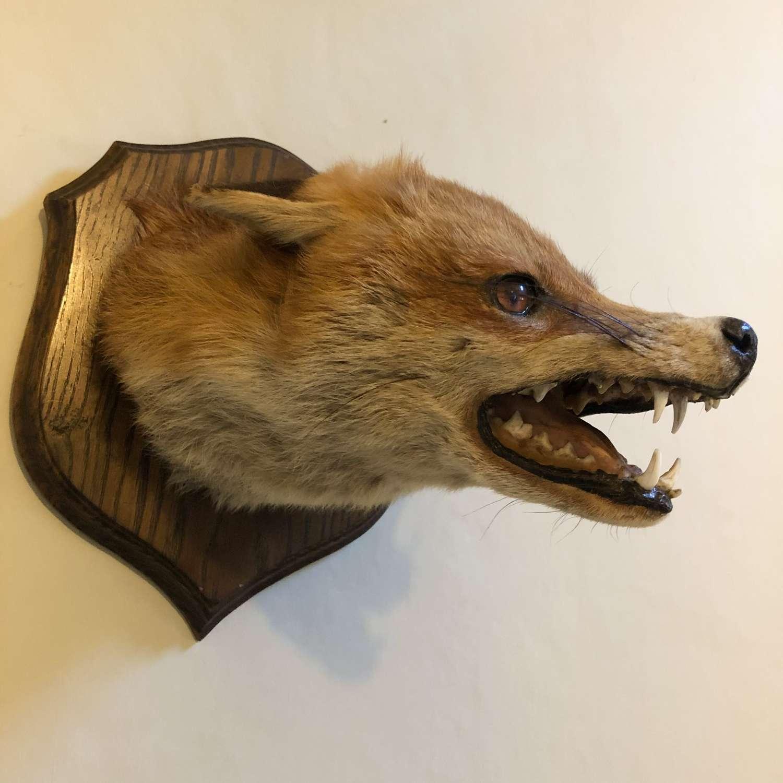 Mounted 'DOG FOX' Head
